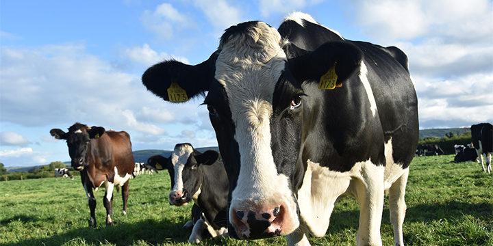 Уряд надаватиме дотації за утримання корів та молодняку (інструкція для отримання коштів)
